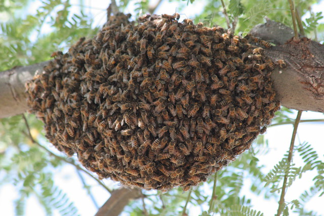 Killer Bee Swarm