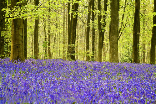 Bluebells in Micheldever Wood, Hampshire