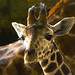 Baby Giraffe at Marwell Zoo in Hampshire