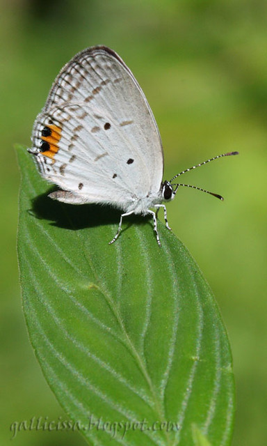 Indian Cupid   Amila Salgado   Flickr
