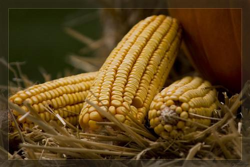 autumn color macro fall nature yellow season corn nikon pennsylvania explore d200 1001nights természet montgomerycounty sárga kukorica ősz nikond200