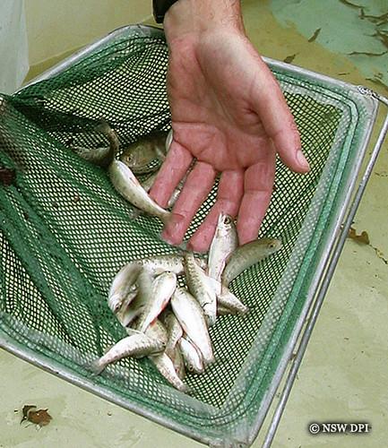 Trout Fingerlings Jpeg Trout Fingerlings