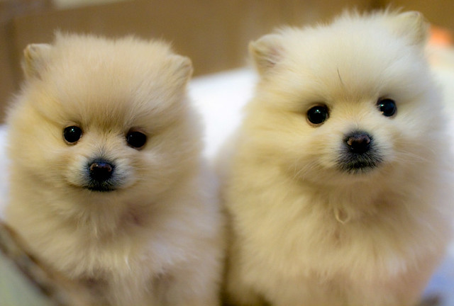 Pomeranian Puppies | Flickr - Photo Sharing!