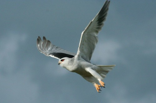 Black-shouldered Kite, (Elanus caeruleus), Blouvalk