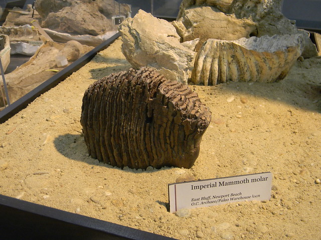 Imperial mammoth tooth | Flickr - Photo Sharing!