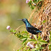 Purple Sunbird (Peter Johnson)