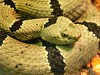 "<a href=""http://www.flickr.com/photos/char1iej/2655805747/"">Photo of Crotalus lepidus by Charlie J</a>"