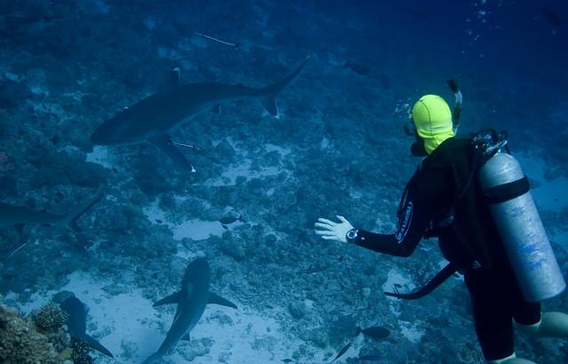Silvertip Shark. De spisse finnene skiller den godt fra Oceanic Whitetip Shark. Osprey Reef, Australia