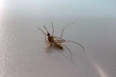 arthropod(1.0), animal(1.0), mosquito(1.0), invertebrate(1.0), macro photography(1.0), fauna(1.0), close-up(1.0), pest(1.0),