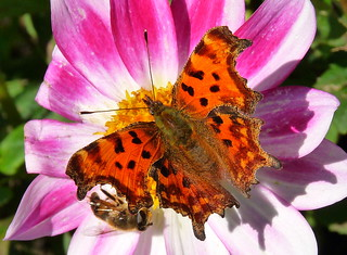 Comma Butterfly and a Bee.