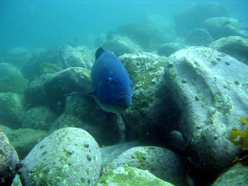 Eastern Blue Groper