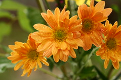 annual plant, calendula, flower, yellow, plant, herb, wildflower, flora, chrysanths, petal,