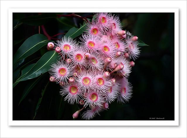Pink Flowering Gum