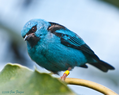 Blue Dacnis (male)