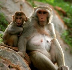 jaipur_monkeys