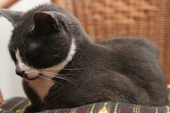black cat(0.0), chartreux(0.0), korat(0.0), burmese(0.0), russian blue(0.0), nose(1.0), animal(1.0), british shorthair(1.0), small to medium-sized cats(1.0), pet(1.0), mammal(1.0), european shorthair(1.0), cat(1.0), whiskers(1.0), manx(1.0), domestic short-haired cat(1.0),