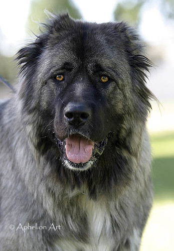Caucasian Mountain Dog | Flickr  Photo Sharing!