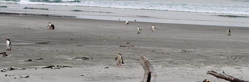 newzealand birds yelloweyedpenguin