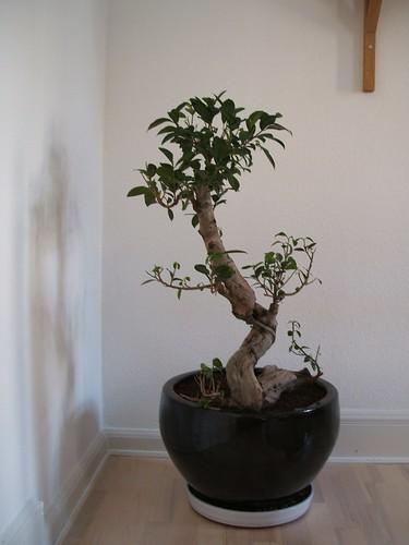 ficus bonsai. Black Bedroom Furniture Sets. Home Design Ideas