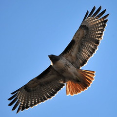 Red-tailed Hawk - Photo (c) sarbhloh, some rights reserved (CC BY-NC-ND)
