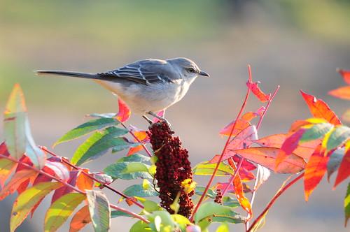 Mockingbird on Staghorn Sumac