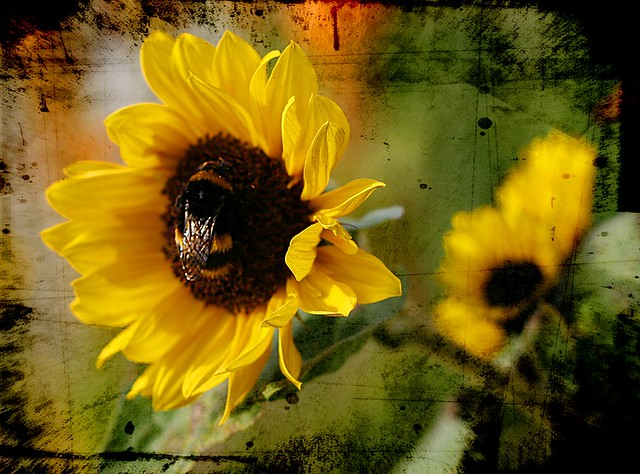 Sunflower bee