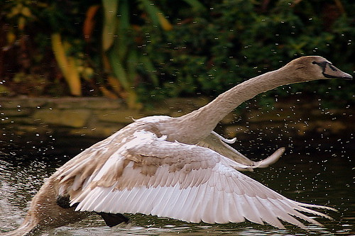 The Swan now departing.....