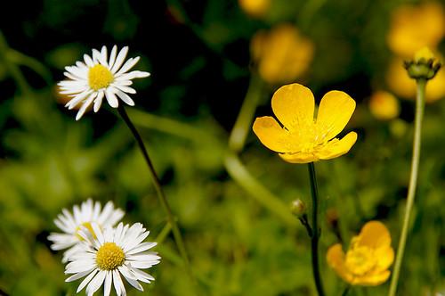 white flower macro green nature yellow buttercup bloom