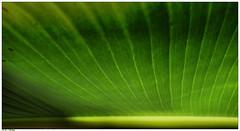 grass(0.0), plant(0.0), plant stem(0.0), leaf(1.0), line(1.0), green(1.0), banana leaf(1.0),