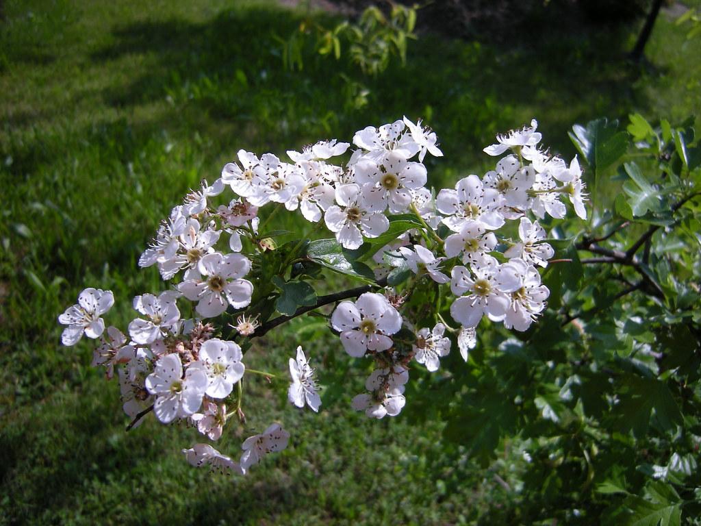 Biancospino - Hawthorn