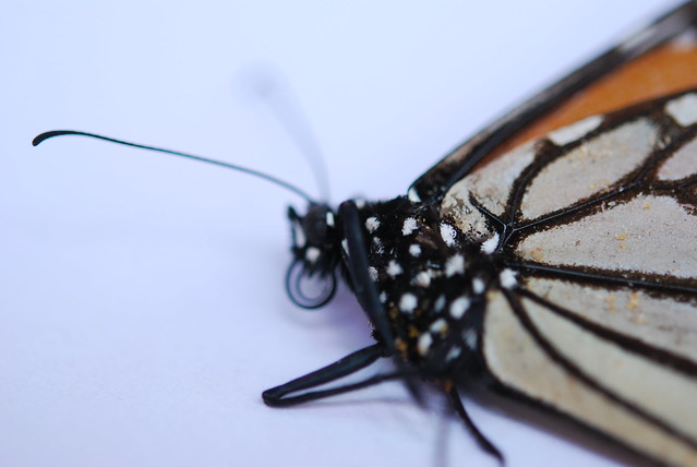 Butterfly - Mouthparts