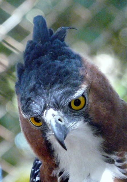 Falconiformes. Família  Acciptridae - Subfamília Buteonidade- Gaviões de penacho. genêro SPIZAETUS 2719923745_802772d8d1_z
