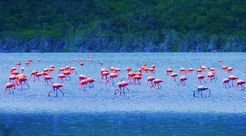 Flamingos ( All at same time)