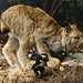 _MG_0032-Pablito-hunting-lynx