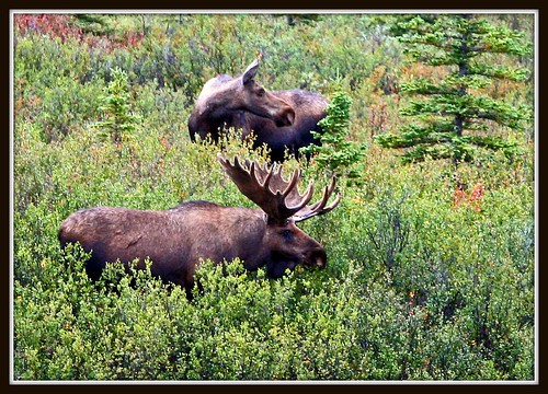 Bull Moose with Cow Moose