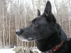 norwegian elkhound(0.0), wolfdog(0.0), saarloos wolfdog(0.0), dog breed(1.0), animal(1.0), dog(1.0), dutch shepherd dog(1.0), pet(1.0), karelian bear dog(1.0), mammal(1.0), formosan mountain dog(1.0), east-european shepherd(1.0),