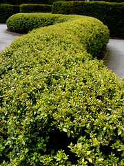 shrub, leaf, plant, subshrub, herb, hedge, groundcover,