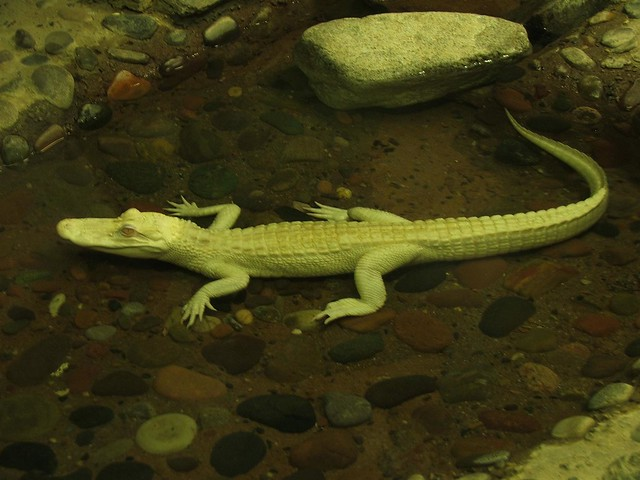 Albino Baby Alligator | Flickr - Photo Sharing!