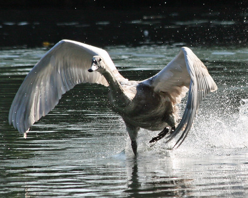 Cygnet learning to fly