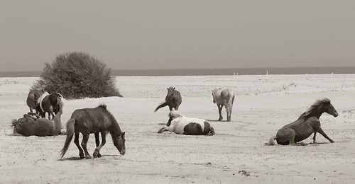 Assateague Island Herd at Rest