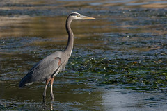Great Blue Heron - Photo (c) Mike Baird, some rights reserved (CC BY)