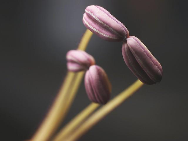 Aeschynanthus longicaulis - anthers