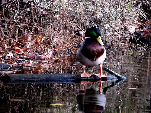 park autumn fall nature water landscape duck north northcarolina raleigh goose shelly mallard shelley chrysti shelleylake