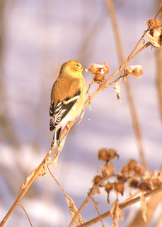 winter finch eating thistle