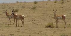 animal, prairie, antelope, springbok, plain, mammal, herd, hartebeest, fauna, savanna, grassland, safari, gazelle, wildlife,