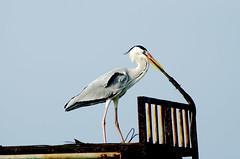 stork(0.0), pelican(0.0), white stork(0.0), animal(1.0), wing(1.0), fauna(1.0), ciconiiformes(1.0), heron(1.0), beak(1.0), bird(1.0), seabird(1.0),