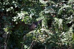 deer hiding behind a tree    MG 0027