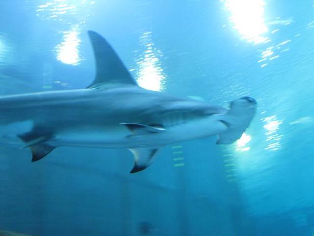 2378277276 a12c84a726 z jpg zz 1Hammerhead Shark Eating Fish