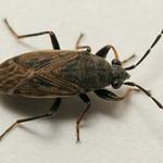 vastagcsápú feketésbodobács - Peritrechus geniculatus