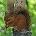 Red squirrel in Perthshire by mondobongo